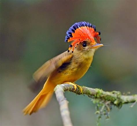 Royal flycatcher bird