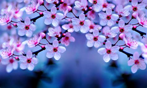 flowers cherry blossom